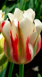 Тюльпан Фламинг Спринг грин 25 луковиц