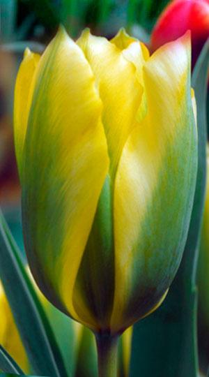 Тюльпан Формоза