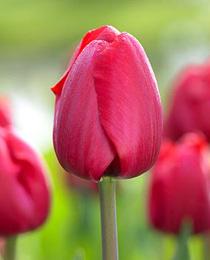 Тюльпан Фрізо 500 цибулин