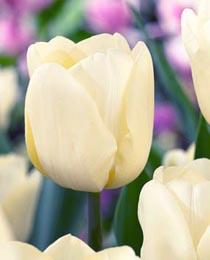 Тюльпан Фан фор ту 500 цибулин