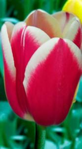 Тюльпан Фуранд 500 цибулин