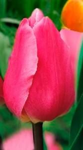 Тюльпан Хеппі фемелі 500 цибулин