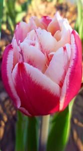 Тюльпан Горизонт 500 цибулин