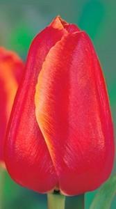 Тюльпан Хантер 500 цибулин