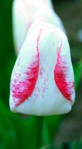 Тюльпан Сальво 500 цибулин
