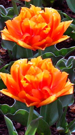 тюльпан вильям ван оранж