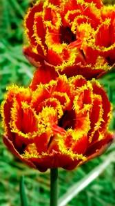 Тюльпан Голд Даст 25 луковиц
