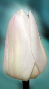 Тюльпан Крисмас Свит 25 луковиц