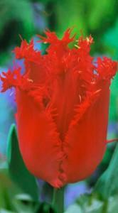Тюльпан Хеллес 25 луковиц