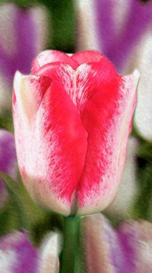 Тюльпан Мата Хари
