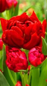 Тюльпан Робиньо 25 луковиц