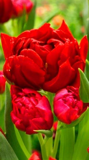 Тюльпан Робинио