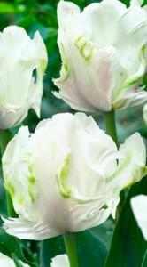 Тюльпан Вайт Пэррот 25 луковиц