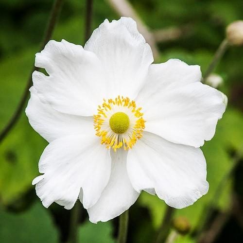 anemona-honorine-jobert