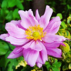 anemona-koenigin-charlotte