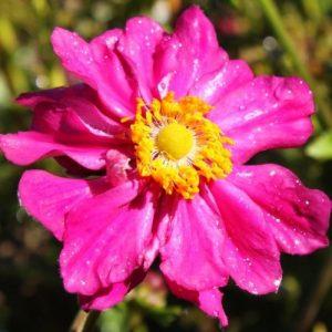 anemona-prince-heinrich