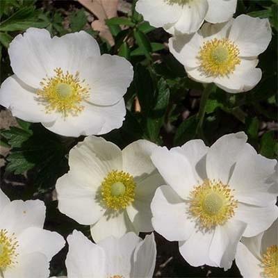 anemone-snow-white-2