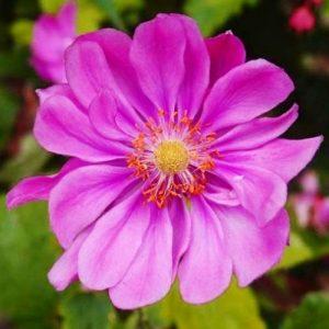 anemone_rotkaeppchen_-1_1