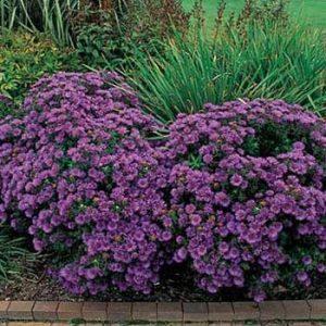 astra-purple-dome