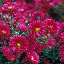 astra-royal-ruby