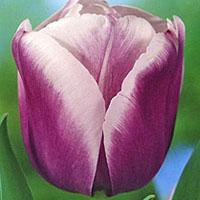 Тюльпан Атлантис (Tulip Atlantis) <span class=