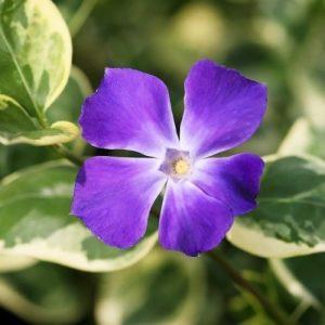 barvinok-variegata