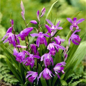 Блетилла Перпл (Purple)