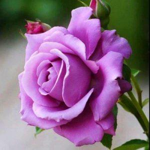 Троянда Клаймбінг Блу Мун (саджанці)