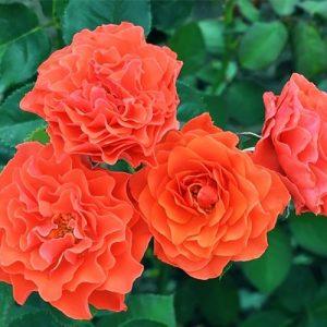 Троянда Бранд Піксі (саджанці)