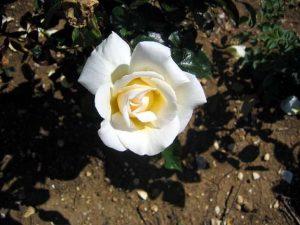 Троянда Керолайн Вікторія (саджанці)