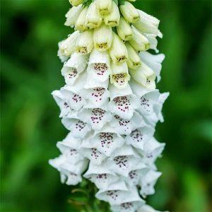 Дигиталис Пурпуреа Альба (Purpurea Alba)