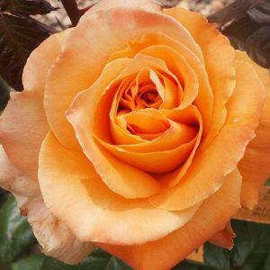Троянда Флора Даніка (саджанці)