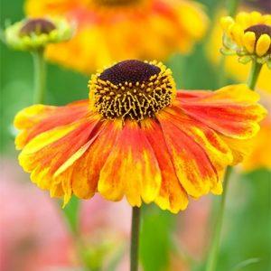 Гелениум Шахинс Эрли Флауэрэр (Sahin's Early Flowerer)