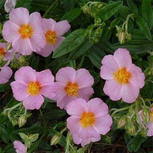 Гелиантемум Лоуренсонс Пинк (Lawrenson's Pink)