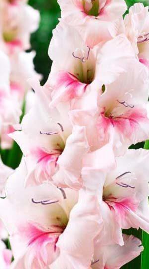 Гладиолус Адреналин( Gladiolus Adrenaline )