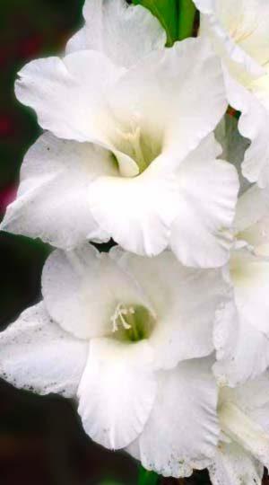 Гладиолус Амстердам( Gladiolus Amsterdam )
