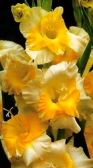 Гладиолус Багги( Gladiolus Buggy )