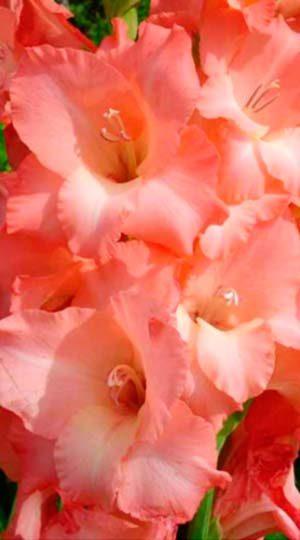 Гладиолус Джессика( GladiolusJessica)