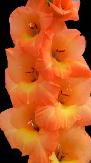 Гладиолус Эста Бонита( GladiolusEsta Bonita)