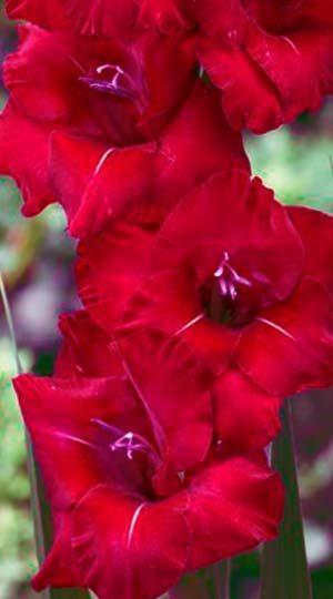 Гладиолус Флево Шайн ( GladiolusFlevo Shine)
