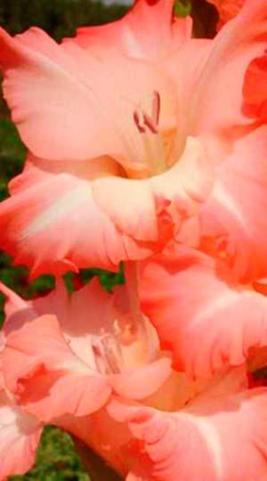 Гладиолус Карма( GladiolusKarma)