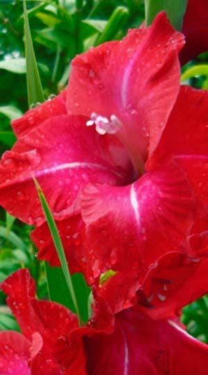 ГладиолусПартитур ( GladiolusPartituur)