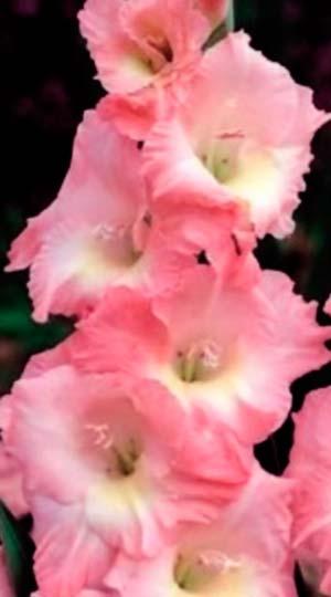 ГладиолусРоуз Суприм( GladiolusRose Supreme)