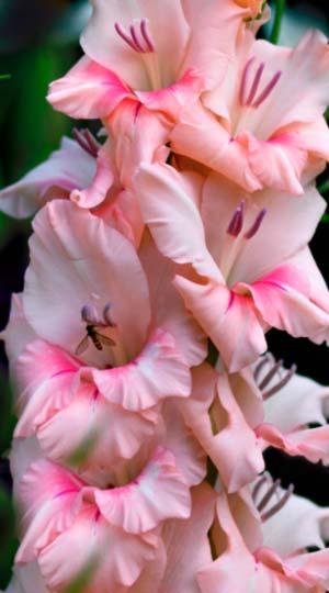 ГладиолусТампико( GladiolusTampico)