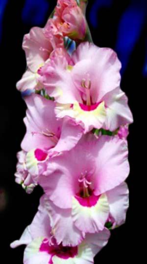 ГладиолусЗамора( GladiolusZamora)