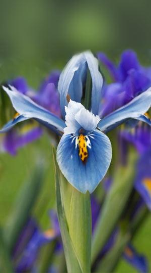 iris-cantab