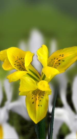 iris-danfordiae