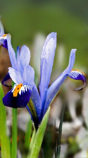 iris-gordon