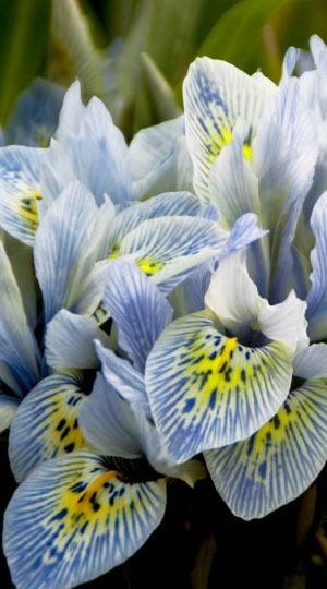 iris-katharine-hodgkin