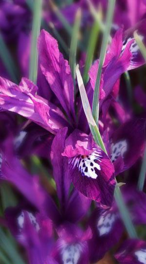 iris-pauline